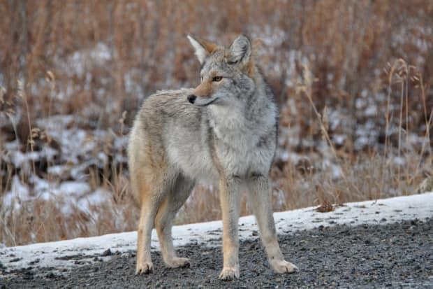 A Yukon coyote. Some people in Whitehorse have been reporting unsettling encounters with a coyote or coyotes on a local bike trail in recent weeks. (Cameron Eckert/Yukon government - image credit)