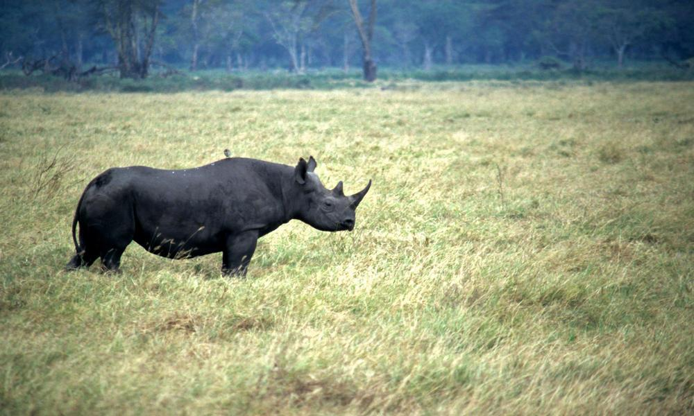 <p>Fewer than 5,000 black rhino are surviving in coastal East Africa. (Photo: WWF) </p>