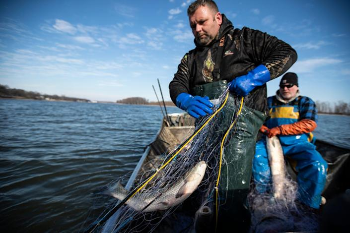 Clint Carter, center, pulls up fishing net that caught carps as Dave Buchanan takes them off the net on the Illinois River in Chillicothe, Ill.,  Wednesday, Feb. 3, 2021.