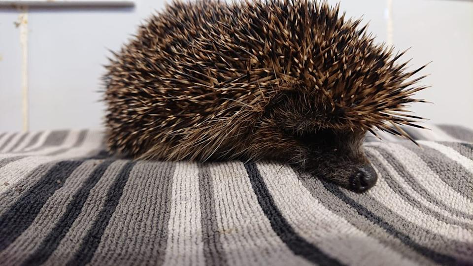 The female hedgehog was forced to inhale cannabis smoke before being thrown into a river. (SWNS)