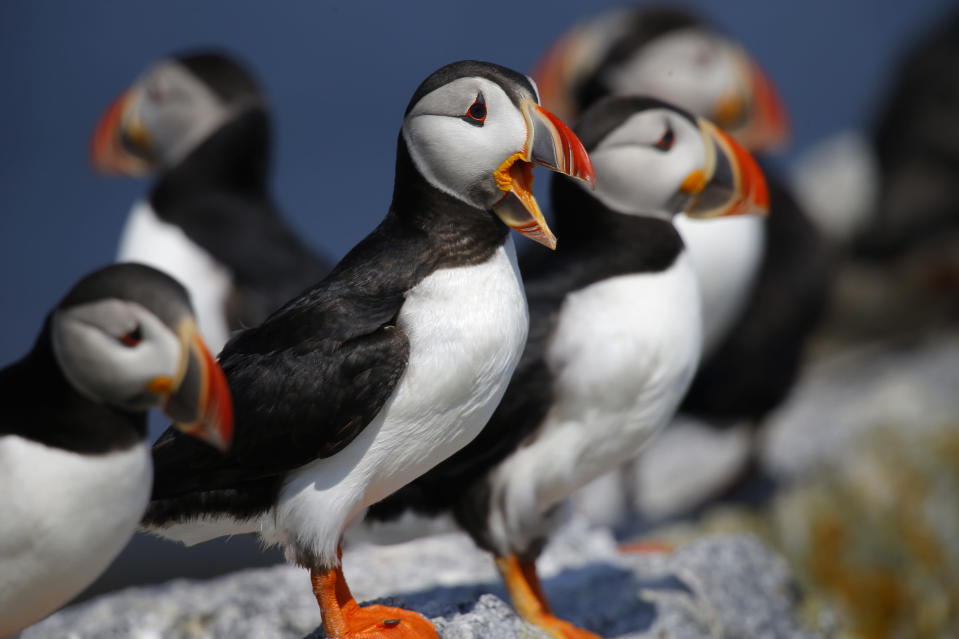 FILE-In this July 19, 2019 file photo an Atlantic puffins congregate on Eastern Egg Rock, a small island off the coast of Maine. Decades of conservation work have brought the state's population of the birds to about 1,300 pairs that nest on Maine islands. (AP Photo/Robert F. Bukaty, files)