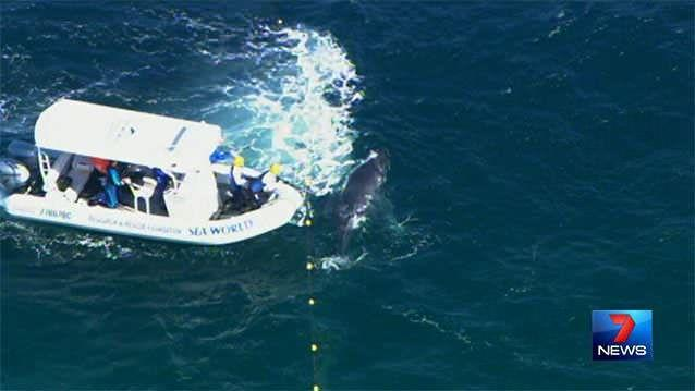 Seaworld rescuers arrived at the scene, working to free the calf as its mother watched on nearby. Photos: 7News