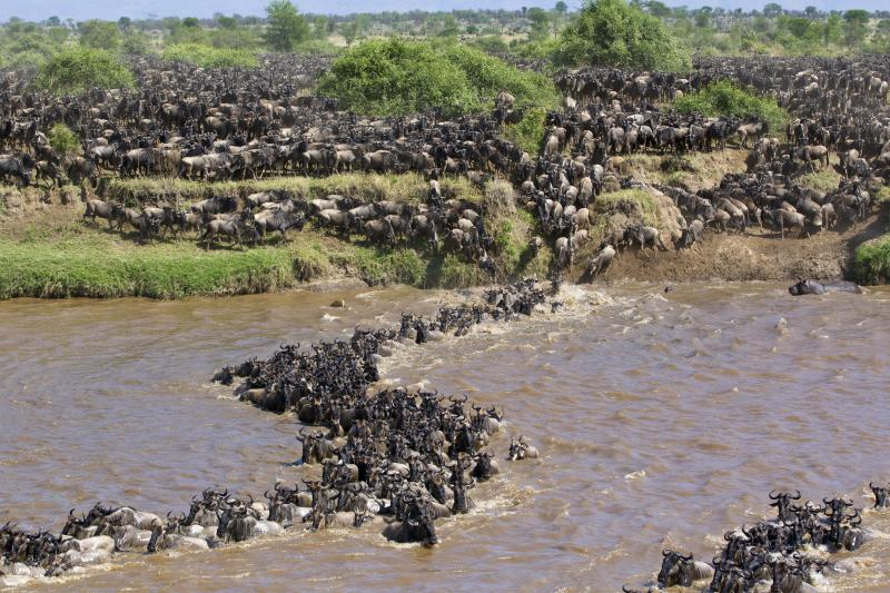 Wildebeest crossing the Mara River in Kenya. (Photo: Will Burrard-Lucas/Caters News)