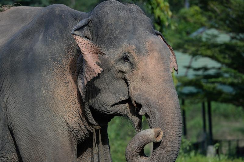 Low birth rates have see the Asian elephant population in Vietnam dwindle (AFP Photo/HOANG DINH NAM)