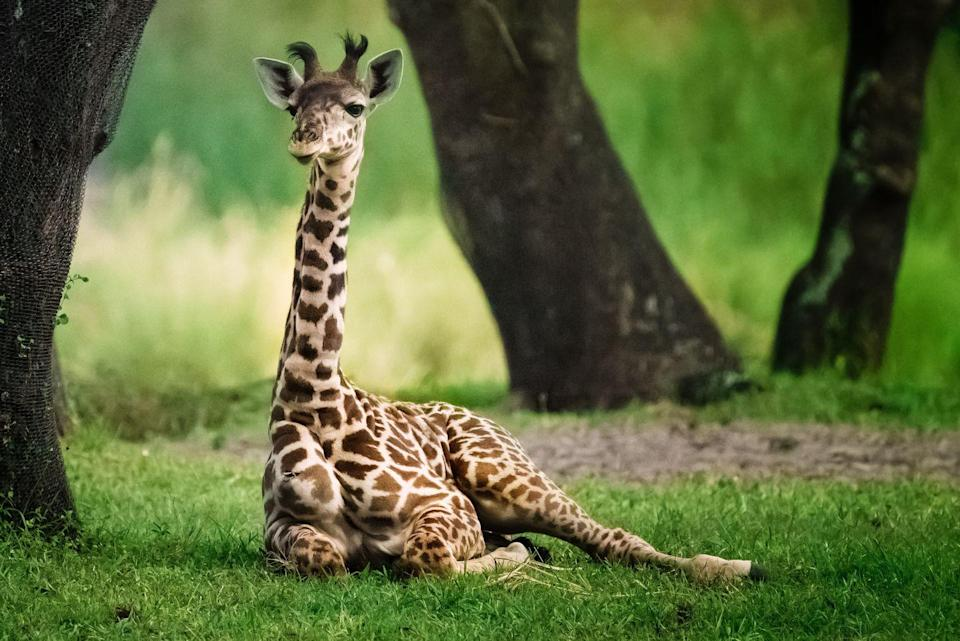 """<p>Elsewhere at Kansas City Zoo, you can also tune in to watch their giraffe feeding on hay. </p><p><a class=""""link rapid-noclick-resp"""" href=""""https://www.kansascityzoo.org/ouranimals/list-of-animals/masai-giraffe/"""" rel=""""nofollow noopener"""" target=""""_blank"""" data-ylk=""""slk:WATCH NOW"""">WATCH NOW</a></p>"""