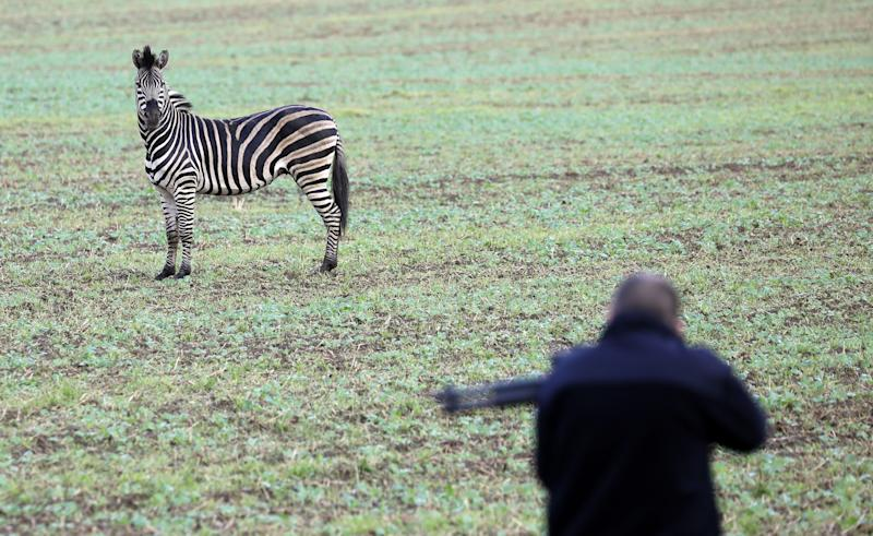 Zebra shot dead after escaping from circus in Germany