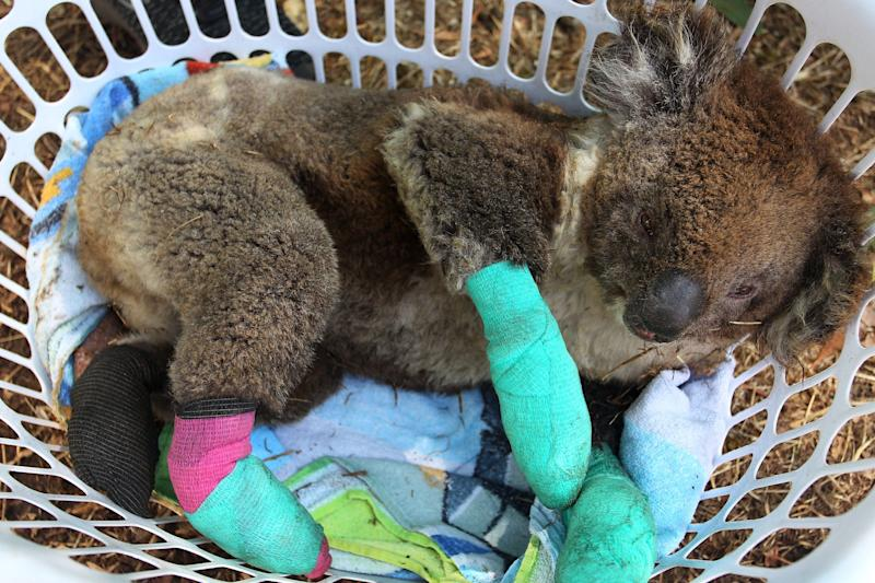 An injured koala rests in a washing basket at the Kangaroo Island Wildlife Park (Getty Images)