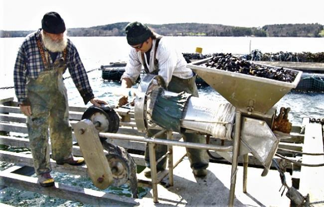 Seeding mussel rope with biodegradable cotton; photo courtesy of Pemaquid Mussel Farms