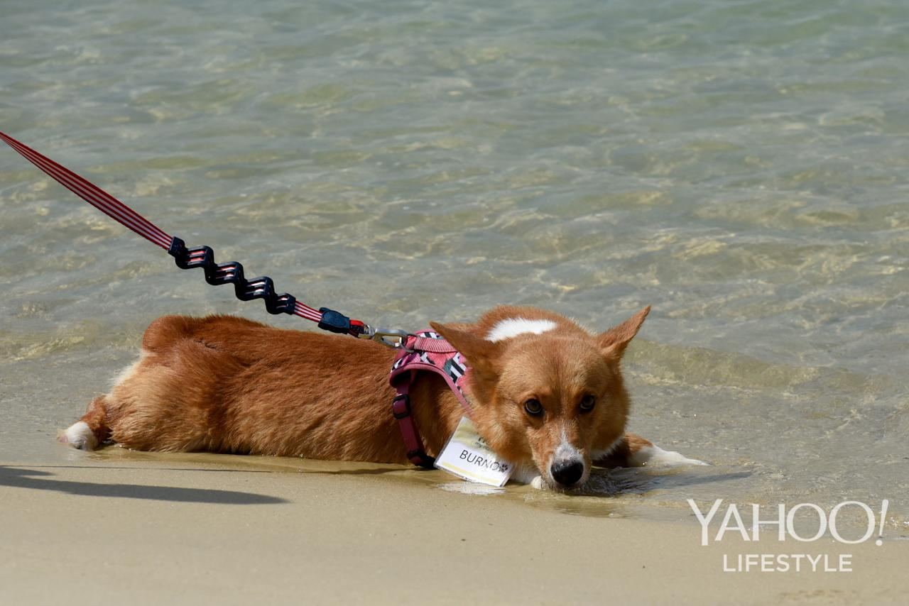 <p>A corgi lies in the water at Tanjong Beach, Sentosa, on 2 December, 2017. (Photo: Yahoo Lifestyle Singapore/Bryan Huang) </p>