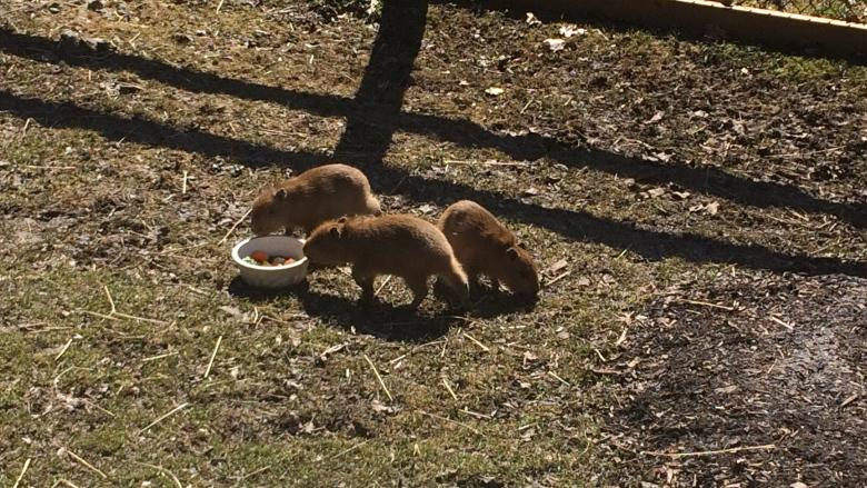 High Park capybaras add 3 new accomplices to their family with birth of babies