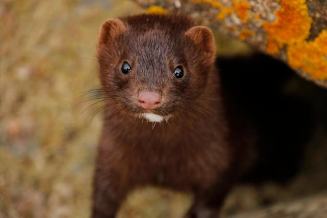 Dutch authorities will introduce mandatory coronavirus testing on all mink fur farms in the Netherlands after it's believed a worker contracted the virus from one of the animals. Source: Getty