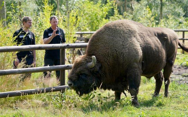 A bison at the Wildwood Trust , near Canterbury (Gareth Fuller/PA)