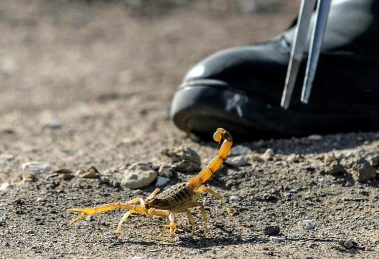 Scorpion hunters supplying the facility earn one to 1.5 Egyptian pounds (around six to 10 cents) per animal