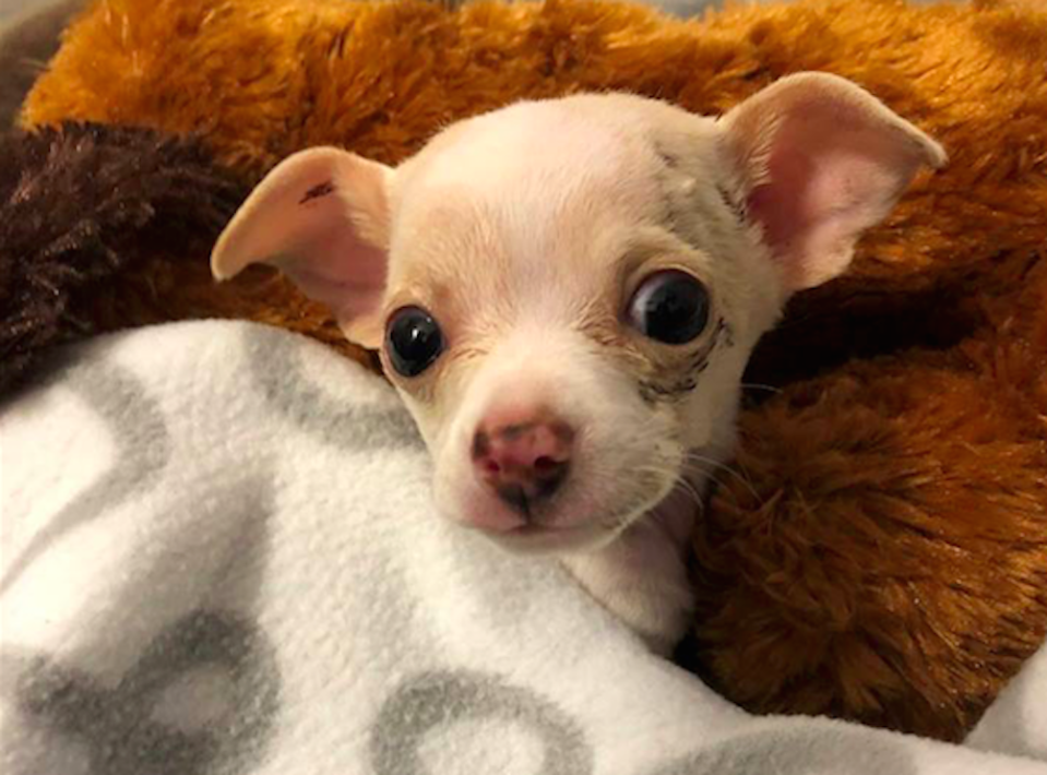 This chihuahua puppy was lifted off the ground by a hawk (Picture: Austin Animal Center)
