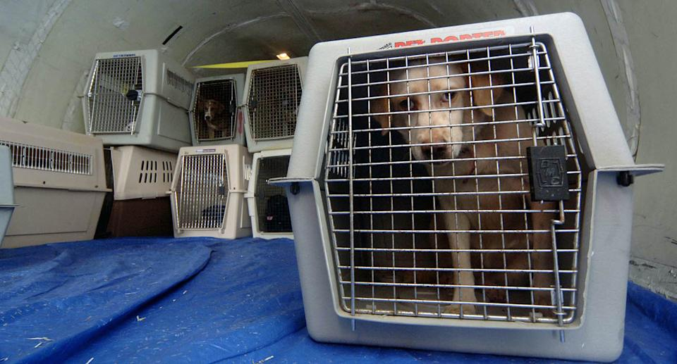 Dogs in cages in a cargo hold. Source: Getty Images