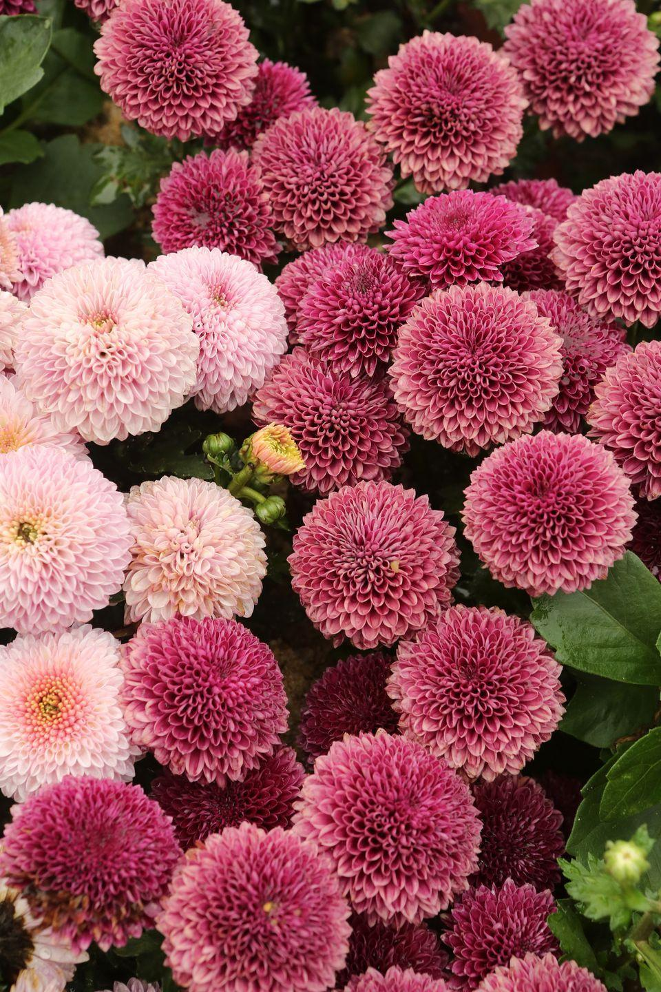 """<p>Mums come in every color you can imagine! Purchase mums in the spring to allow time for their roots to grow so they can come back next year. If you plant them in the fall, when you typically see them at nurseries and retailers, you'll enjoy them for the season but the plant won't have time to get established before winter.</p><p>Varieties to try: Matchsticks, Daisy Quill Yellow</p><p><a class=""""link rapid-noclick-resp"""" href=""""https://www.bluestoneperennials.com/MPICR.html"""" rel=""""nofollow noopener"""" target=""""_blank"""" data-ylk=""""slk:SHOP NOW"""">SHOP NOW</a></p>"""