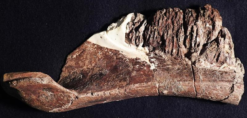 The dentary of Aquilarhinus, showing the unusual upturned end of the mandible.