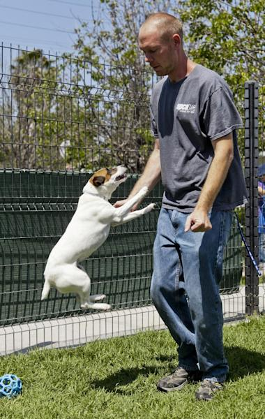 Matthew Weins, of spcaLA (Society for the Prevention of Cruelty to Animals Los Angeles), works with Daisy, as he demonstrates how even smaller dogs can leap up and reach the face, at the spcaLA P.D. Pitchford Companion Animal Village and Education Center in Long Beach, Calif., on Wednesday, May 16, 2012. One of the nation's largest home insurers released its 2011 statistics on dog bite claims Wednesday. A State Farm Insurance spokesman says more than $109 million was paid on about 3,800 dog bite claims nationwide. (AP Photo/Damian Dovarganes)