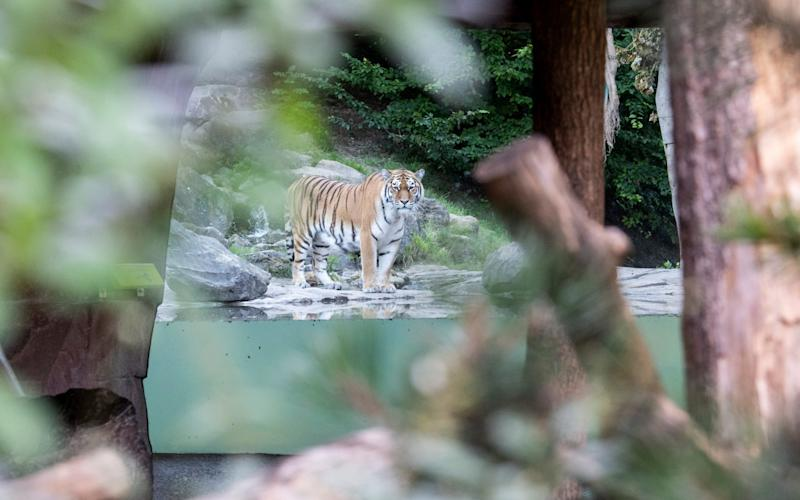 The tiger male Sayan in the restricted area at the Zoo Zurich after the accident in the tiger enclosure where a female keeper was attacked and fatally injured by a female tiger - Ennio Leanza/Keystone