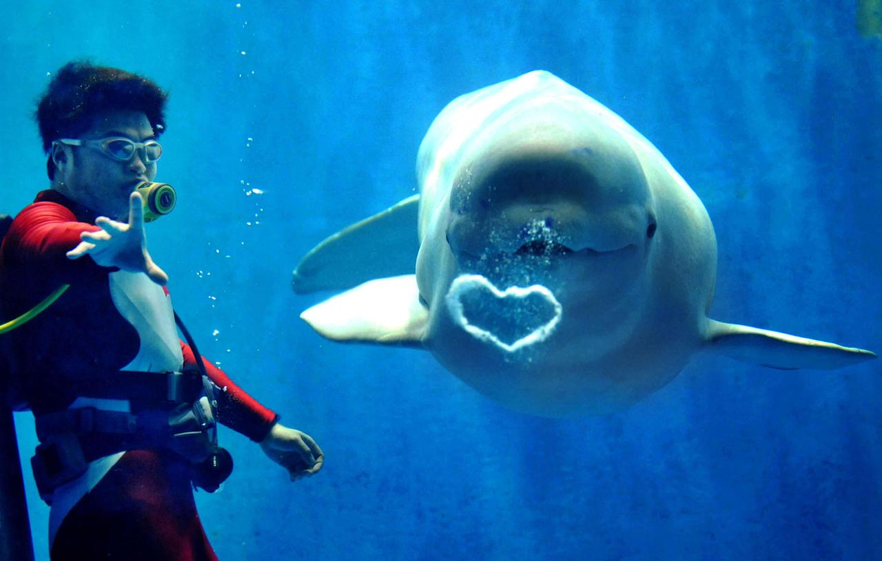 PIC FROM CATERS NEWS - (PICTURED A white Beluga whale blows a beautiful heart-shaped bubble to visitors at Harbin Polarland in Harbin, China) With Valentines Day just around the corner its the time of year when love is in the air but as these pictures prove - its all over the earth too. These extraordinary images, taken by photographers across the globe, show Mother Nature is also gearing up to celebrate the big day with iconic heart shapes appearing all over the natural world. The charming pictures capture Mother Natures romantic side and feature several signs of love including an adorable fluffy penguin with a white heart emblazoned on its chest. Other natural displays include a flamingo creating a heart shape with its white and pink plumage and two swans which appear to kiss as they form a heart shape with their necks. SEE CATERS COPY