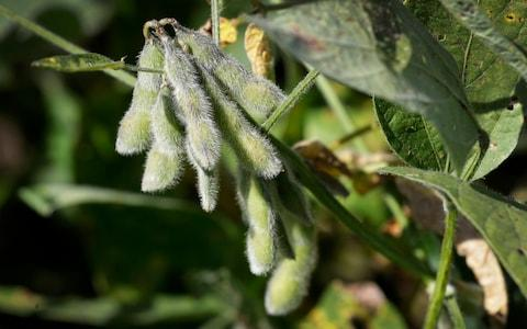Soybeans in a field on the Grant Kimberley farm - Credit: Charlie Neibergall/AP