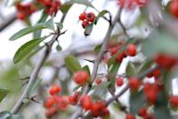 """<p>Pyracantha is ready to go to battle with just about anything you could throw at it, which includes those pruning shears. It's armed with needle-sharp spikes <a href=""""https://www.mortonarb.org/trees-plants/tree-plant-descriptions/firethorn"""" rel=""""nofollow noopener"""" target=""""_blank"""" data-ylk=""""slk:every few inches"""" class=""""link rapid-noclick-resp"""">every few inches</a> along its stems and branches, and features tips with 4-inch-long hypodermics.</p><p>Firethorn can grow 10 feet tall and nearly as wide. It's a hardy plant that endures plenty of abuse, and it can spread quickly. You'll need to be ready for battle if you hope to save your yard from this thorny beast.</p>"""