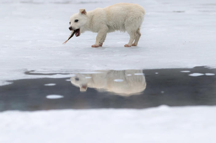 <p>A small dog is reflected in a puddle formed by melting ice while eating a fish it snatched from a fisherman on a lake in Cimiseni, Moldova, Jan. 29, 2016. (AP Photo/Vadim Ghirda) </p>