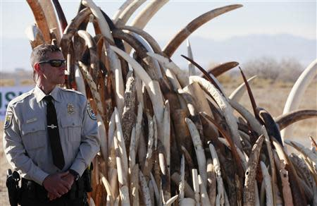 Bryan Yetter, a federal wildlife officer with the U.S. Fish and Wildlife Service stands guard next to a huge pile of confiscated elephant tusks, before 6 tons of ivory was crushed, in Denver