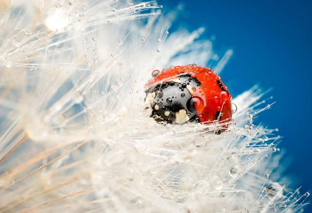 "<p>""My favorite photo is the ladybird covered by dew, which took a lot of work but was worth it for the awards I've received."" (Photo: František Dulík/Caters News) </p>"