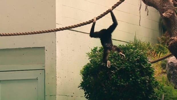 A white-handed gibbon swings on a rope at the Calgary Zoo. (Mike Symington/CBC - image credit)