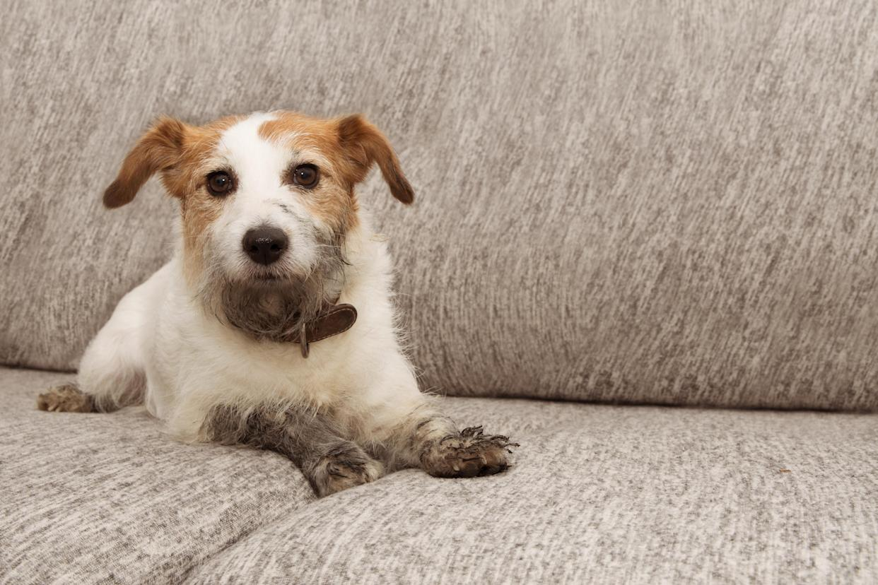 Portrait dog mischief. Dirty Jack russell playing on sofa furniture with muddy paws and guilty expression.