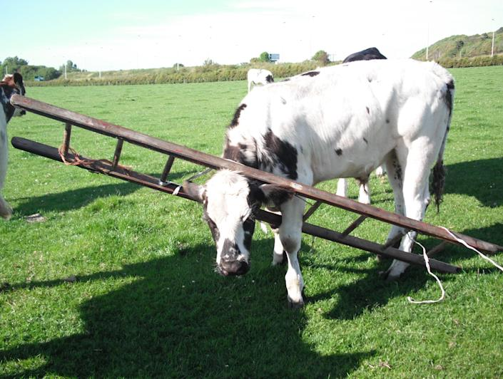 Neighbors contacted the SPCA when they noticed a cow with her head firmly stuck in a ladder in a farmer's field in South Ayrshire, Scotland. The farmer does not know how the cow worked herself into the ladder or why the ladder was in his field. The SPCA was able to extract the cow and she was unharmed in the incident. (Photo courtesy: SPCA)