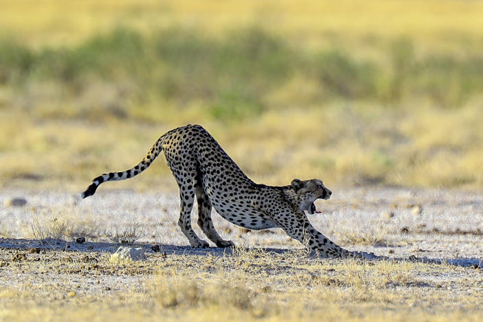 <span>A cheetah stretches after a long nap under a tree in Etosha National Park. Daytime temperatures can soar well above 100 degrees, with the only relief from a breeze or the shade. (Photo: Gordon Donovan/</span>Yahoo News)