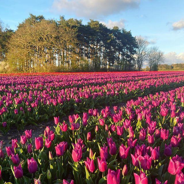 """<p>What a pretty sea of tulips! Over in Norfolk, this stellar field is famous for its beautiful colour palette, drawing in a steady crowd of visitors. Make sure not to miss out on seeing these...</p><p><a class=""""link rapid-noclick-resp"""" href=""""https://www.norfolktulips.co.uk/"""" rel=""""nofollow noopener"""" target=""""_blank"""" data-ylk=""""slk:MORE INFO"""">MORE INFO</a></p><p><a href=""""https://www.instagram.com/p/COYHtzQDIeZ/"""" rel=""""nofollow noopener"""" target=""""_blank"""" data-ylk=""""slk:See the original post on Instagram"""" class=""""link rapid-noclick-resp"""">See the original post on Instagram</a></p>"""