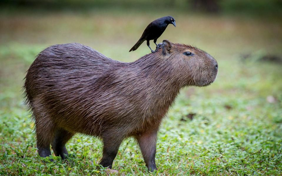 A region's capybara might be in for a shock - Getty