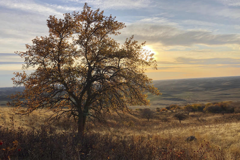 "In this Oct. 22, 2019, photo, the sun sets behind an apple tree that could be a ""lost"" variety known as Walbridge, in the Steptoe Butte area near Colfax, Wash. The tree is one of hundreds currently being studied by two amateur botanists with The Lost Apple Project, who have rediscovered at least 13 long-lost apple varieties in homestead orchards, remote canyons and windswept fields in eastern Washington and northern Idaho that had previously been thought to be extinct. (AP Photo/Gillian Flaccus)"