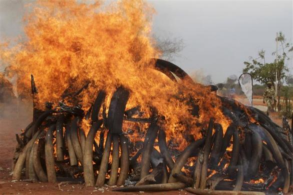 An illegal consignment of five tons of Ivory confiscated from smugglers is destroyed during the African Elephant Law Enforcement Day in Tsavo West National Park, 380 km (236 miles) east of capital Nairobi July 20, 2011.