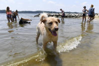 """Finnegan plays at the dog beach at Quiet Waters Park in Annapolis, Md., Saturday, July 20, 2019. The National Weather Service said """"a dangerous heat wave"""" was expected to break record highs in some places, particularly for nighttime. (AP Photo/Susan Walsh)"""