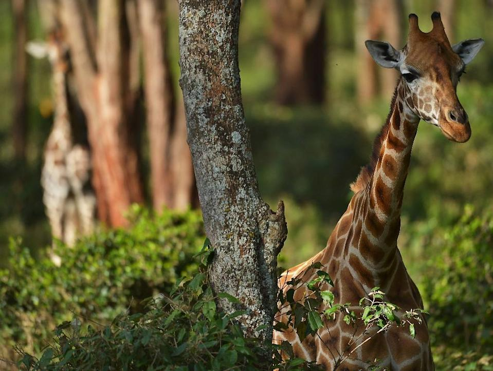 Many giraffe live in Africa's most conflict-torn regions, making conservation a challenge (AFP Photo/TONY KARUMBA)