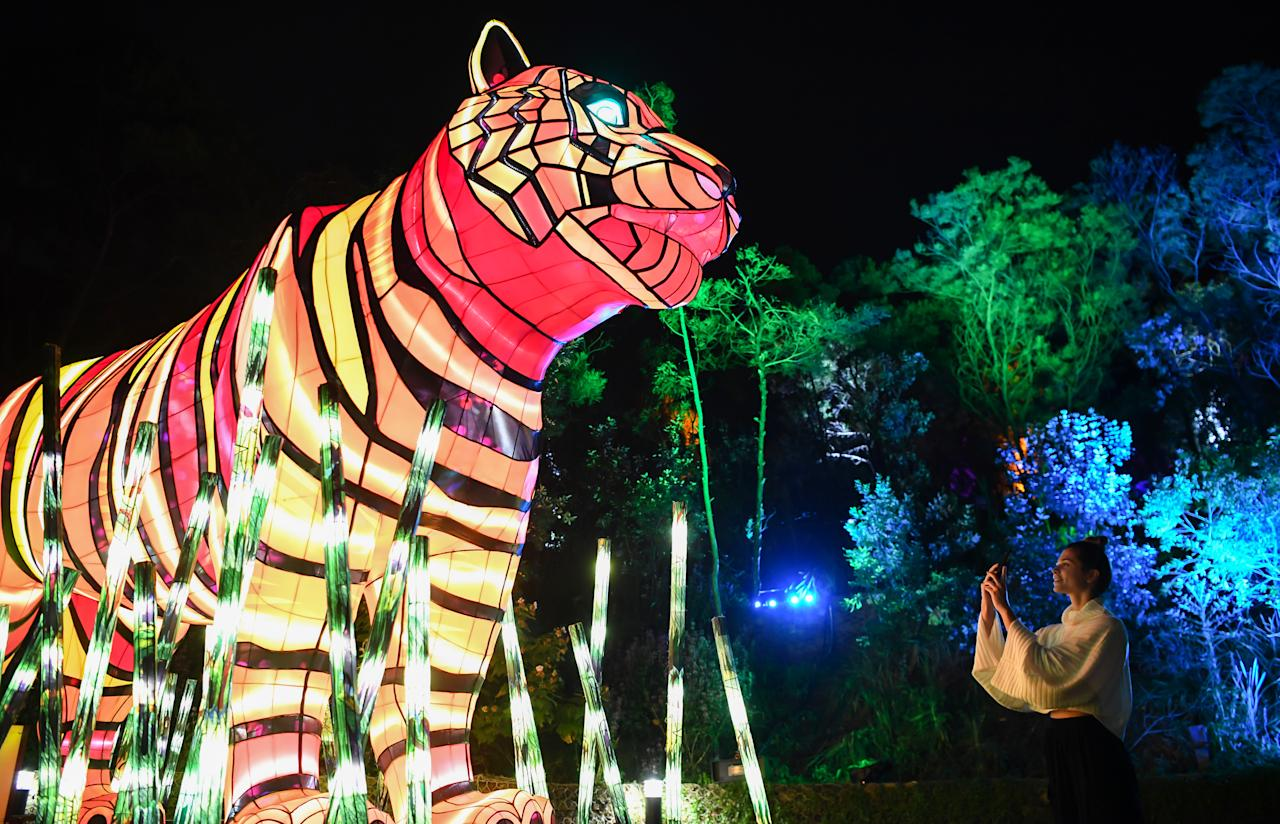 A woman takes a photo on her mobile phone of a tiger during the media preview of Vivid Sydney at Taronga Zoo on May 19, 2019 in Sydney, Australia. (Photo: James D. Morgan/Getty Images)
