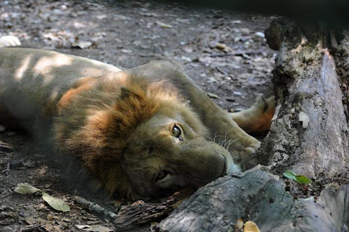A starving lion rests at a private animal farm in San Manuel, Honduras, 220 km north of Tegucigalpa, on November 1, 2015 (AFP Photo/Orlando Sierra)