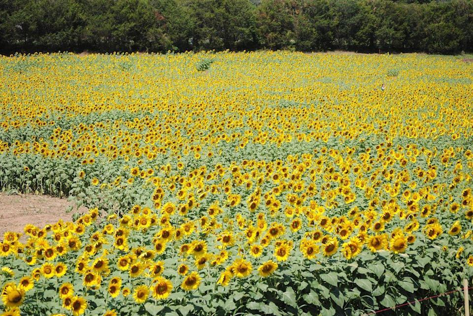 """<p>Between the sunflower maze and enormous fields containing 30 different sunflower varieties, there's so much to see at the <a href=""""https://go.redirectingat.com?id=74968X1596630&url=https%3A%2F%2Fwww.tripadvisor.com%2FAttraction_Review-g57814-d6976559-Reviews-Burnside_Farms-Haymarket_Prince_William_County_Virginia.html&sref=https%3A%2F%2Fwww.countryliving.com%2Flife%2Ftravel%2Fg21937858%2Fsunflower-fields-near-me%2F"""" rel=""""nofollow noopener"""" target=""""_blank"""" data-ylk=""""slk:Burnside Farms"""" class=""""link rapid-noclick-resp"""">Burnside Farms</a> in <a href=""""https://go.redirectingat.com?id=74968X1596630&url=https%3A%2F%2Fwww.tripadvisor.com%2FTourism-g58024-Nokesville_Prince_William_County_Virginia-Vacations.html&sref=https%3A%2F%2Fwww.countryliving.com%2Flife%2Ftravel%2Fg21937858%2Fsunflower-fields-near-me%2F"""" rel=""""nofollow noopener"""" target=""""_blank"""" data-ylk=""""slk:Nokesville, Virginia"""" class=""""link rapid-noclick-resp"""">Nokesville, Virginia</a>. Head there early in the day to pick the best blooms ($1.50 per stem), which you can then take home to style into beautiful arrangements. </p><p><a class=""""link rapid-noclick-resp"""" href=""""https://go.redirectingat.com?id=74968X1596630&url=https%3A%2F%2Fwww.tripadvisor.com%2FTourism-g58024-Nokesville_Prince_William_County_Virginia-Vacations.html&sref=https%3A%2F%2Fwww.countryliving.com%2Flife%2Ftravel%2Fg21937858%2Fsunflower-fields-near-me%2F"""" rel=""""nofollow noopener"""" target=""""_blank"""" data-ylk=""""slk:PLAN YOUR TRIP"""">PLAN YOUR TRIP</a></p>"""