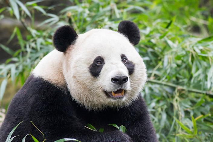 China, Sichuan Province, Chengdu, Giant Panda Bear (Ailuropoda melanoleuca) eating bamboo shoots at Chengdu Research Base of Giant Panda Breeding