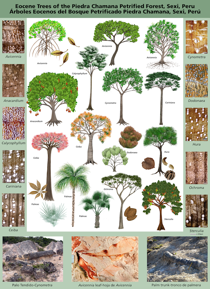 An artist's illustrations of each of the most common variety of trees found, plus cross-sections of the fossil wood as seen under a microscope