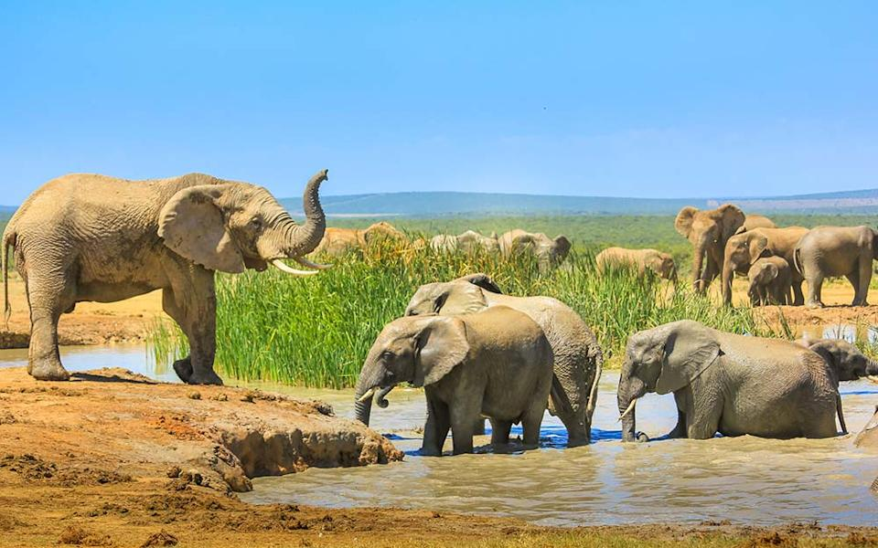 Since it was formed in 1931, Addo Elephant National Park has seen numbers swell from just 11 of the creatures to over 600 - BENNY MARTY