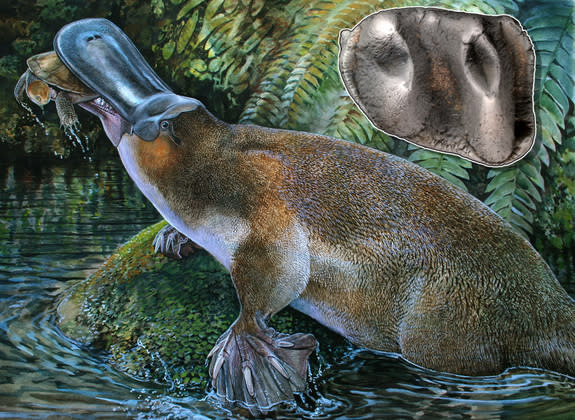 Fossil of Largest Platypus Discovered in Australia