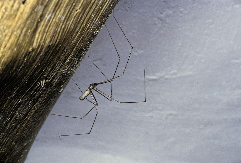 """<p><strong>What it looks like</strong>: These are spindly spiders with long thin legs. The body of the cellar spider is usually <a href=""""https://hgic.clemson.edu/factsheet/cellar-spiders/"""" rel=""""nofollow noopener"""" target=""""_blank"""" data-ylk=""""slk:1/4- 5/16-inch-long"""" class=""""link rapid-noclick-resp"""">1/4- 5/16-inch-long</a>, with legs extending another 2 inches. </p><p><strong>Where you'll find it</strong>: """"You'll always find them in a corner with a cobweb,"""" says Raupp. Their namesake matches their stomping grounds, including basements, attics, or other protected places. Cellar spiders are known for their webbing, continuously adding to them.</p><p><strong>Can it harm you?</strong> Cellar spiders are not venomous and not known to bite.</p>"""