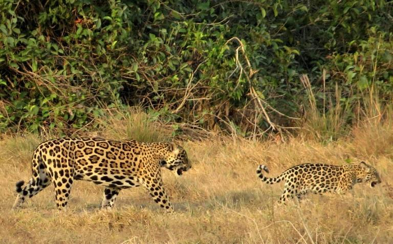 """The jaguar is listed as """"near threatened"""" by the International Union for Conservation of Nature"""