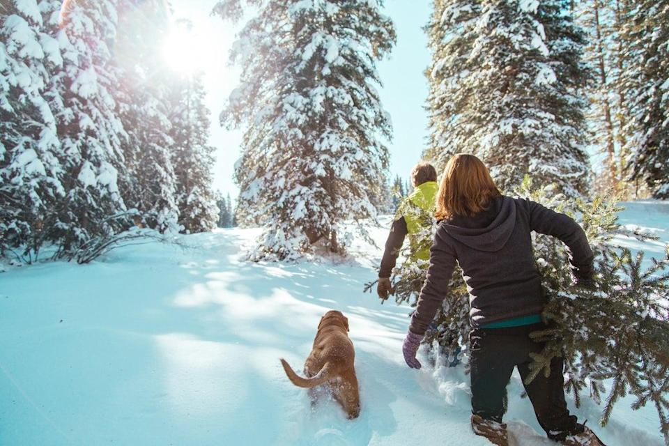 <p>Around eight million Christmas trees are bought in the UK each year</p> (Getty Images/iStockphoto)