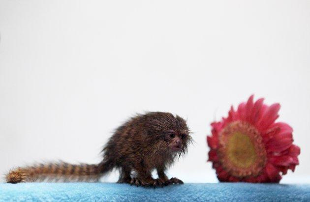 A Pygmy Marmoset (Callithrix pygmaea) is seen at a primate rescue and rehabilitation center near Santiago August 3, 2010. The Pygmy Marmoset, known as the world's smallest monkey and under danger of extinction, was confiscated after being found inside the clothes of a Peruvian citizen during a highway police check at the northern city of Antofagasta, some 1367 km (849 miles) of Santiago. REUTERS/Ivan Alvarado